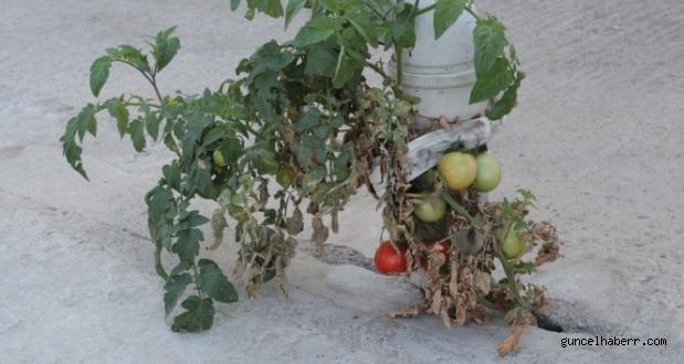 Görenleri şaşırttı betonnda domates yetişti!
